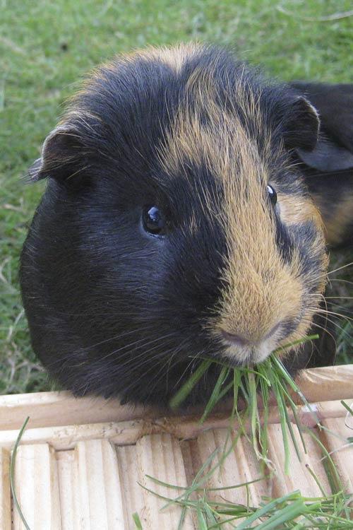 Tierkommunikation mit Meerschweinchen Johnny