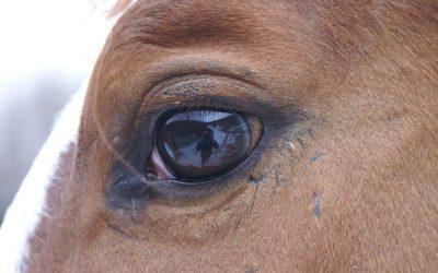 Telepathische Tierkommunikation mit Warmblut Wallach Lui, 7 Jahre