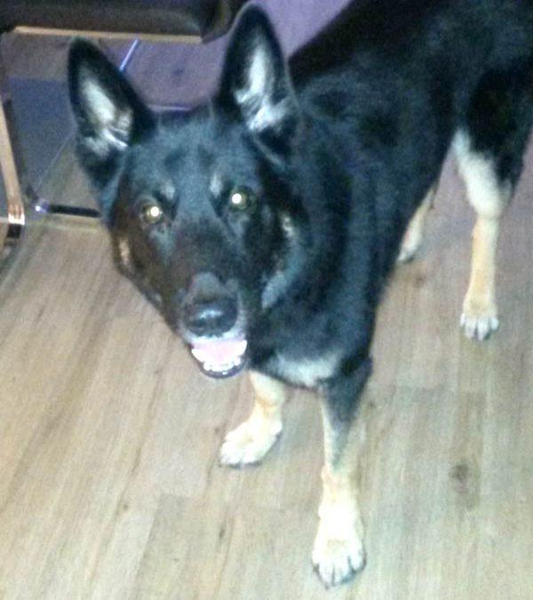 Tierkommunikation mit Schäferhund Merlin, 6 Jahre alt