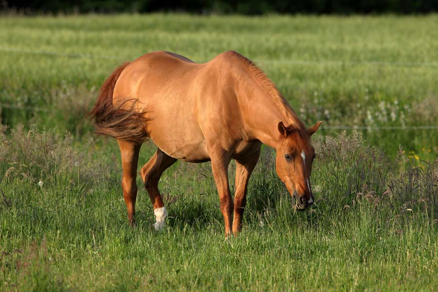 Tierkommunikation mit Quarterhorse Stute Luna, 3 Jahre alt