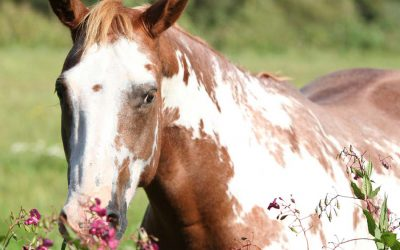 Tierkommunikation mit Turnierpferd Kiki, Paint Horse Stute, 8 Jahre alt