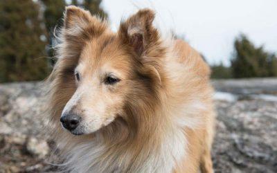 Tierkommunikation mit Collie Rüde Lucky, 10 Jahre alt
