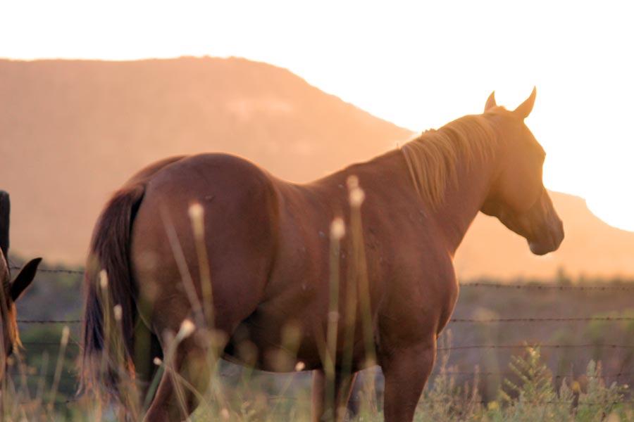 Tierkommunikation mit Quarterhorse Wallach Firestorm, 10 Jahre alt